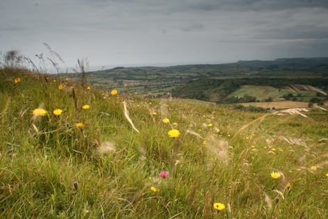 Wild flowers at Eggardon Hill iron age fort